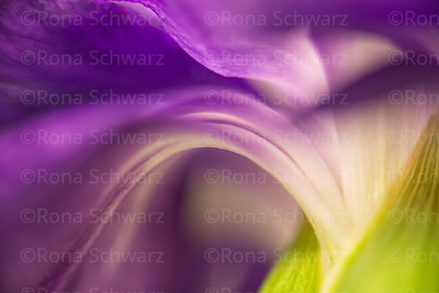 Close-up of the back of a purple carnation flower.