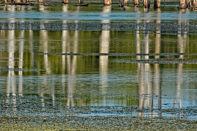 Reflections of dead trees in water with algae at the Celery Bog wetlands, Indiana.