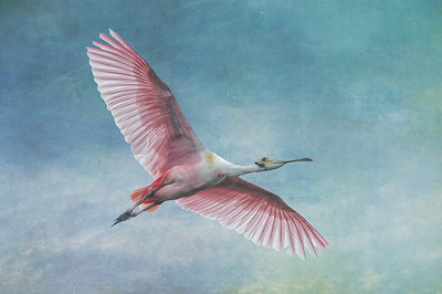 Roseate Spoonbill in flight with outstretched wings against azure sky. Alligator Farm Zoological Park, St. Augustine, Florida.