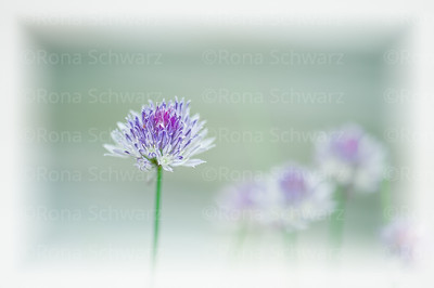 Chives blowing in the wind