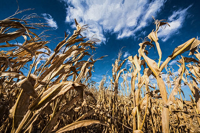 USA, Indiana.  Dried corn stalks reach out to blue sky.  Digitally altered.