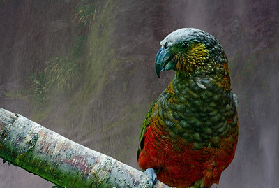 Kaka, a native parrot of New Zealand, with mist from waterfall in Milford Sound as background.
