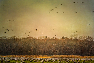 Sandhill Cranes in flight and in fields at Jasper-Pulaski Wildlife Area, Medaryville, Indiana: digitally altered