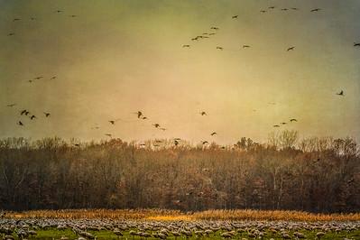Sandhill Cranes in flight and in fields at Jasper-Pulaski Wildlife Area, Medaryville, Indiana: digitally altered