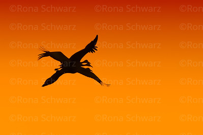 Sandhill Cranes silhoutted against bright orange sky at sunset