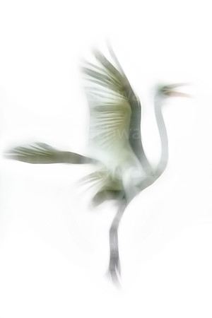 Great Egret in flight: digitally altered