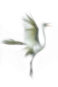 Great Egret in flight: digitally altered