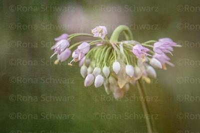 Close-up of Allium cernuum bud, digitally altered.