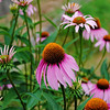 cone flowers
