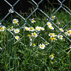 daisies along the fence