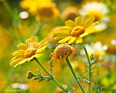 Everything's Coming Up Daisys