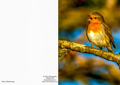 Robin of Rodborough 5 x 7.jpg