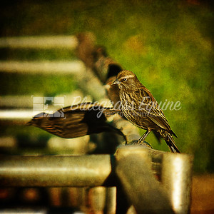 Ready..Set.. Sparrows, Milpitas, CA