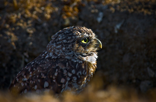 Burrowing Owl - Shoreline Lake - Mountain View, California.