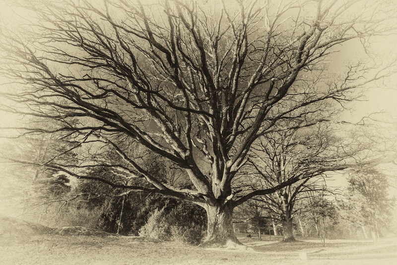 Mighty old oak