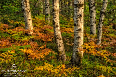 Aspens and Bracken ferns in Autumn in Ontario's Algonquin Provincial Park