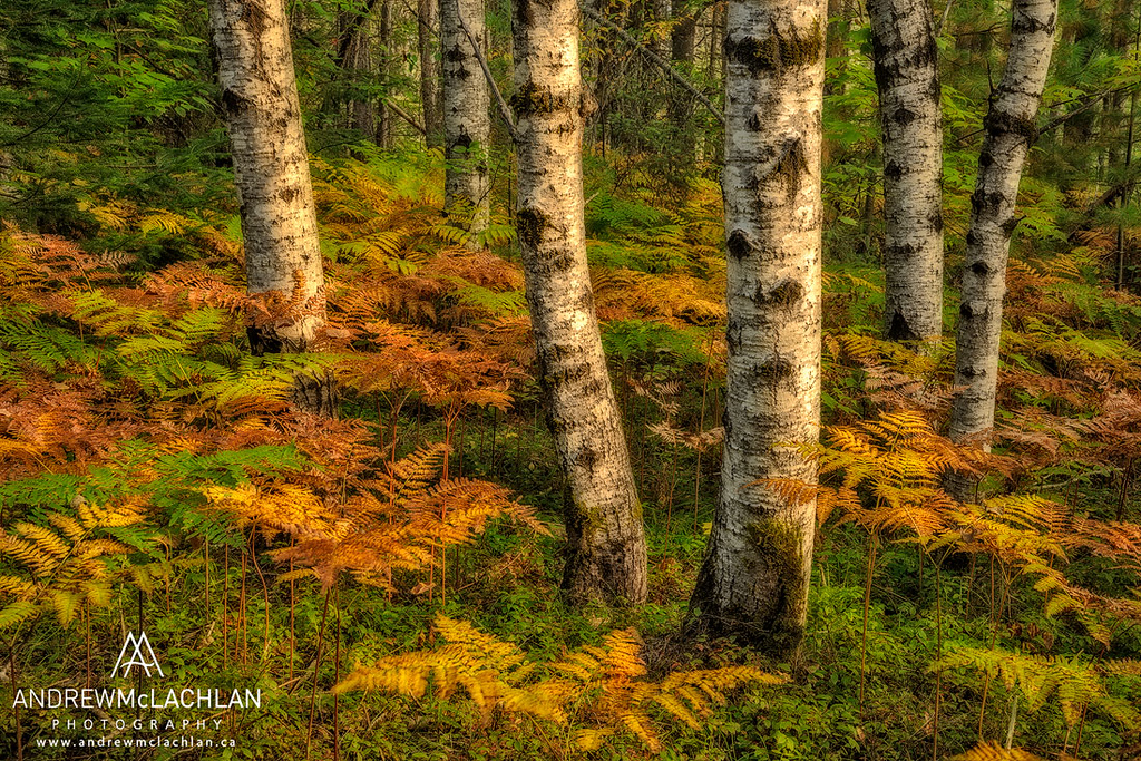 Aspens and Bracken ferns in Autumn in Ontario's Algonquin Provincial Park