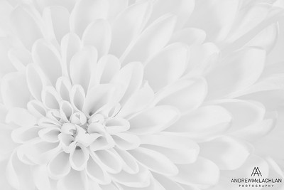 Chrysanthemum Creative Edit