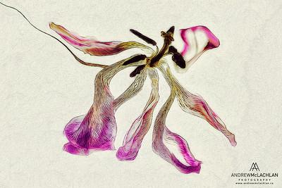 Tulip - Creative Edit