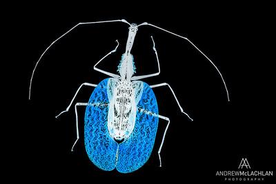 Violin Beetle (Mormolyce phyllodes)