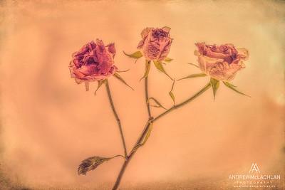 Roses - Creative Edit