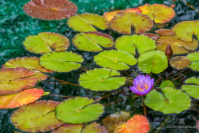 Water Lily Creative Edit