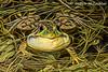 Male Green Frog (rana clamitans )