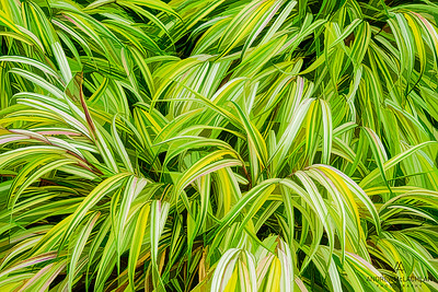 Variegated Grasses Creative Edit