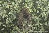 Green Frog Among Duckweed