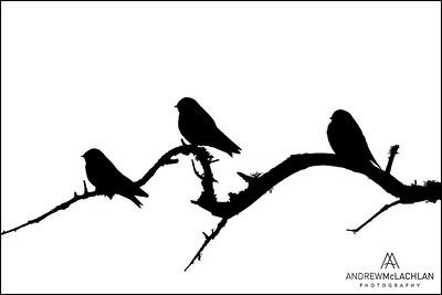 Tree Swallows, Parry Sound, Ontario, Canada