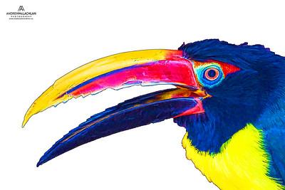 Green Aracari (Pteroglossus virdis) - captive