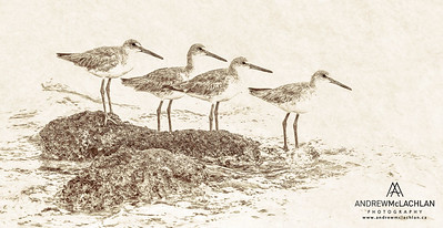 Willets - Creative Edit