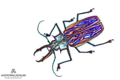 Sabertooth Longhorn Beetle (Macrodontia cervicornis) - preserved specimen