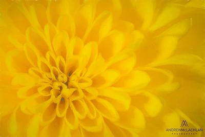 Chrysanthemum Creative Edit