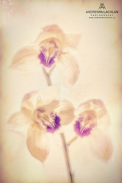 Cymbidium Orchids - Creative Edit