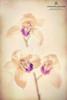 Cymbidium Orchids - Creative Edit