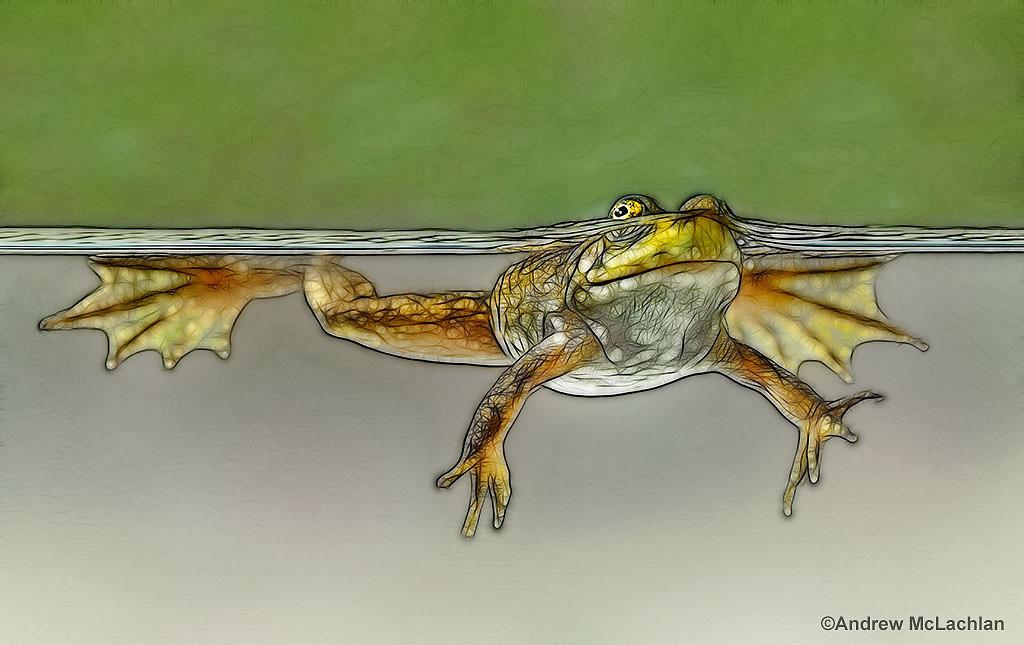 Bullfrog_juvenile_1695-fractalius