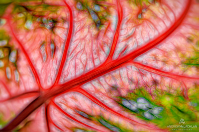 Caladium Leaf Creative Edit