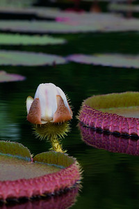 Water Lily _MG_6436
