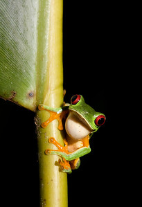 Red-eyed Leaf Frog