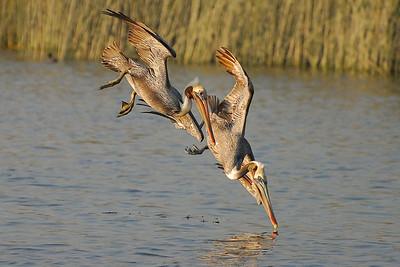 Diving Brown Pelicans