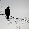 """Eagle Silhouette"" by Jack, 16 