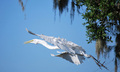 Name: White Heron In Flight Medium: Photography Contact: Bill Hosford E-Mail: gwh1225@aol.com  To see more of Bills work go to http://www.hosfordimages.com