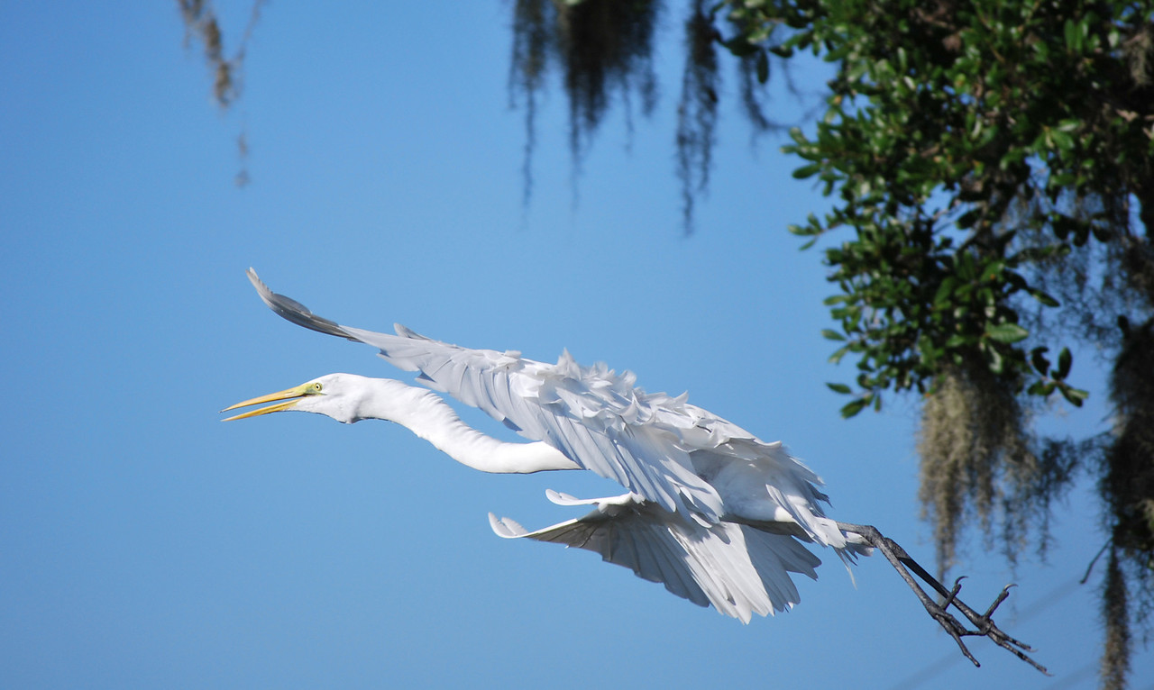 "Name: White Heron In Flight<br /> Medium: Photography<br /> Contact: Bill Hosford<br /> E-Mail: gwh1225@aol.com <br /> To see more of Bills work go to <a href=""http://www.hosfordimages.com"">http://www.hosfordimages.com</a>"