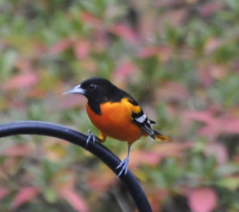 Name: Baltimore Oriole Medium: Photography Contact: Bill Hosford E-Mail: gwh1225@aol.com  To see more of Bills work go to http://www.hosfordimages.com