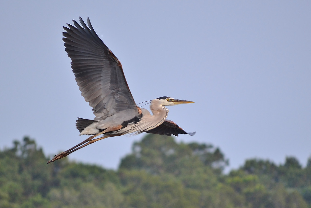 "Name: Great Blue Heron Flying.<br /> Medium: Photography<br /> Contact: Bill Hosford<br /> E-Mail: gwh1225@aol.com <br /> To see more of Bills work go to <a href=""http://www.hosfordimages.com"">http://www.hosfordimages.com</a>"