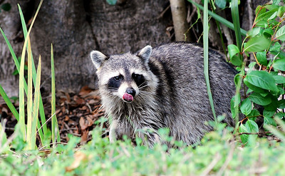 Name: Raccoon Medium: Photography Contact: Bill Hosford E-Mail: gwh1225@aol.com  To see more of Bills work go to http://www.hosfordimages.com