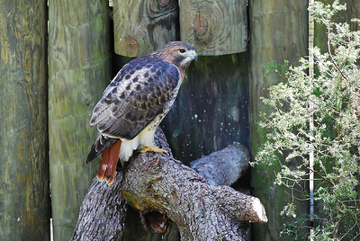 Name: Red Tailed Hawk Medium: Photography Contact: Bill Hosford E-Mail: gwh1225@aol.com  To see more of Bills work go to http://www.hosfordimages.com