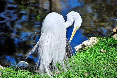 Name: Snowy Egret Medium: Photography Contact: Bill Hosford E-Mail: gwh1225@aol.com  To see more of Bills work go to http://www.hosfordimages.com