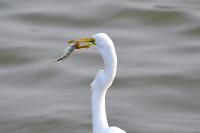 Name: White Heron With Fish Medium: Photography Contact: Bill Hosford E-Mail: gwh1225@aol.com  To see more of Bills work go to http://www.hosfordimages.com
